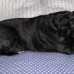 Vilket hundliv, tugga födelsedagsben i husse o mattes säng