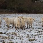 Kor i vinterskrud