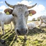Lurvig och nyfiken ko