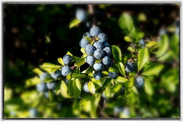 BRäKNE-HOBY, SVERIGE - 20 SEPTEMBER 2018 : Höstens frukter i Järnavik . Bräkne-Hoby och Ronneby på Järnavik i Bräkne-Hoby den 20 september ( Foto: Calegula Foto )